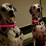 Make your dogs glow with the Mighty Pet LED Light-up collars and leashes